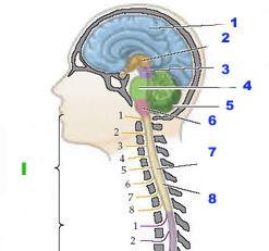 Central_nervous_system sm