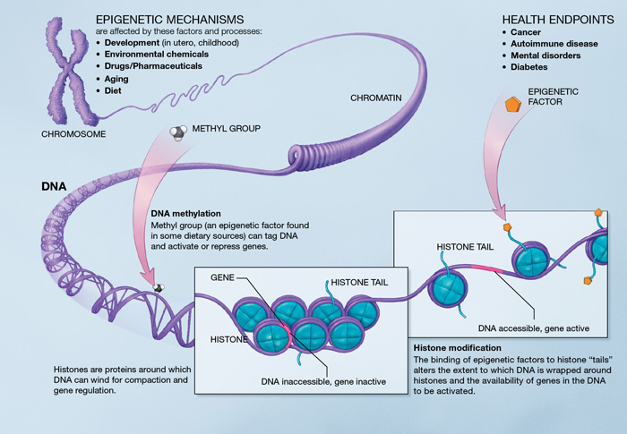 A Scientific Illustration of How Epigenetic Mechanisms Can Affect Health (National Institutes of Health, USA)
