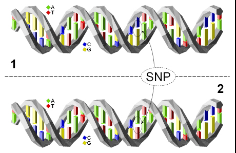 """DNA molecule 1 differs from DNA molecule 2 at a single base-pair location (a C/A polymorphism). """"Dna-SNP"""" by SNP model by David Eccles (gringer)."""